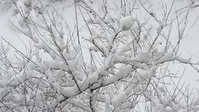 Snow falling on cherry tree branch on white snowy background stock video