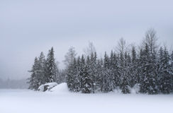 Snow falling day. Snow falling heavily with winter forest landscape on background Royalty Free Stock Images