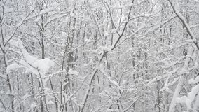 Snow falling in deciduous forest on background of. Snow falling in deciduous forest on white background of leafless trees with tree branches covered with heaps stock video