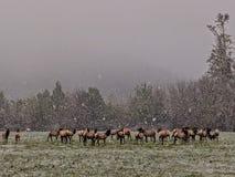 Elk grazing in the snow storm