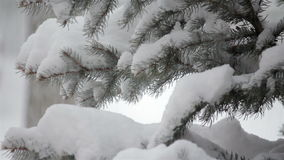 Snow falling on an evergreen tree in winter stock video