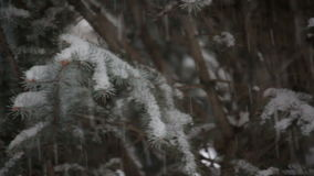 Snow falling on an evergreen tree in winter. Pan stock video