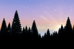 Snow falling on fir tree forest Stock Photo