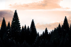 Snow falling on fir tree forest Stock Image