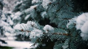 Snow falling at the fir trees. Branches stock video