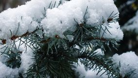 Snow falling at the fir trees. Branches stock video footage
