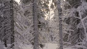 Snow falling at the fir trees branches.  stock video footage