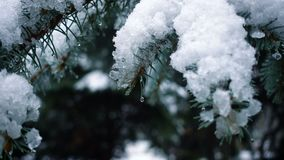 Snow falling at the fir trees. Branches stock footage