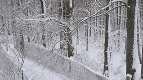 Snow falling in forest with narrow road on white background. Snow falling in forest with a narrow fenced road on white background of leafless trees with tree stock video