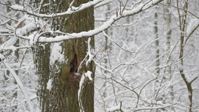 Snow falling in forest on a tree with hollow. Snow falling in deciduous forest on background of tree trunk with hollow stock video footage