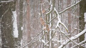 Snow falling in forest on white background of leafless trees. With tree branches and tree trunks covered with snowdrifts gently swaying in wind. High key shot stock video footage