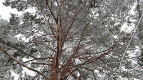 Snow falling with hoarfrost tree in winter season, low angle view.  stock footage