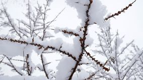 Snow at tree branches. Winter christmas season background. Snow falling on leafless tree branches in slow motion. winter christmas season background stock video footage