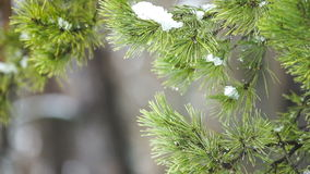 Snow Falling And Melts On A Pine Tree stock video footage
