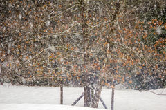 Snow falling on a oak tree with orange leaves Stock Photo