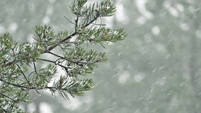 Snow falling on pine branch