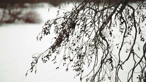 Snow falling on pine branch. Snowflakes falling on a pine branch and create a beautiful picture of winter stock video