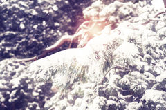 Snow falling on pine branches in light of winter sun Royalty Free Stock Photos