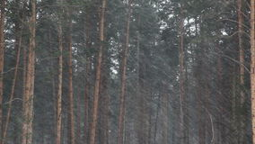 Snow falling in pine forest stock footage