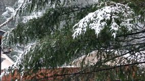 Falling snow on pine branches. Snow falling on pines and ceder trees near roof lines stock video footage