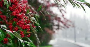 Snow falling on red berry tree during winter stock footage