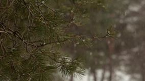 Snow falling in slow motion, flakes swirling and drifting against a backdrop of spruce and pine trees with snow covered. Snow falling in slow motion, flakes stock video
