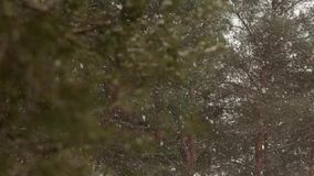 Snow falling in slow motion, flakes swirling and drifting against a backdrop of spruce and pine trees with snow covered. Snow falling in slow motion, flakes stock footage
