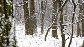 Snow falling in slow motion in leafless deciduous forest. With tree trunks on white snowy background stock footage