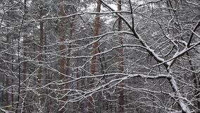 Snow falling in slow motion in mixed forest. With tree trunks on white snowy background stock footage