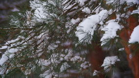 Snow Falling from the Snow-Covered Christmas Tree Branches in Winter Day. Slow Motion. In 96 fps. Winter background. Snow comes in the Christmas forest stock video footage