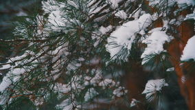 Snow Falling from the Snow-Covered Christmas Tree Branches in Winter Day. Slow Motion. In 96 fps. Winter background. Snow comes in the Christmas forest stock video