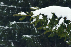 Snow falling in a spruce forest Stock Photo