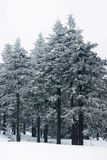 Snow falling in a spruce forest Stock Photography