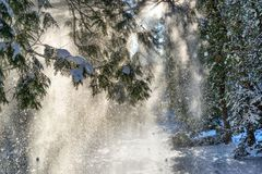 Snow falling from spruce trees. Sunshine through snow falling from fir trees in a winter park Stock Photo