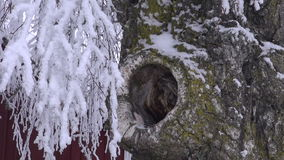 Snow falling from a tree. Snow falling from birch tree with a hole in winter stock footage