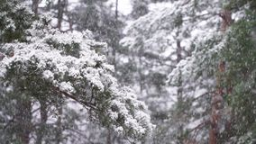 Snow falling on a tree branch. timelapse stock footage