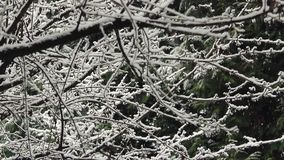 Snow Falling On Tree Branches. Snowing on tree with branches covered in snow stock video