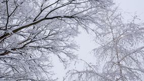 Snow falling on tree branches in Winter christmas season background. Beautiful nature landscape. Snow falling on tree branches in Winter christmas season stock video