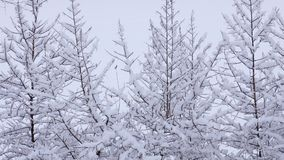 Snow falling on tree branches in Winter christmas season background. Beautiful nature landscape. Snow falling on tree branches in Winter christmas season stock video footage
