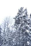 Snow falling trees Stock Image