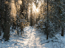 Snow falling from trees in winter forest Stock Photo