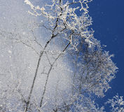Snow falling from treetops Royalty Free Stock Images