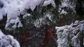 Snow Falling in Winter Pine Forest with Snowy Christmas Trees. Slow Motion stock video footage