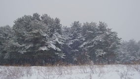 Snow falling in Winter Pine Forest with Snowy Christmas Trees. Winter forest with snowy tree. Snow falling and covered fir trees on a winter day. Winter stock video footage