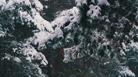 Snow falling in Winter Pine Forest with Snowy Christmas Trees. Winter forest with snowy tree. Snow falling and covered fir trees on a winter day. Winter stock footage