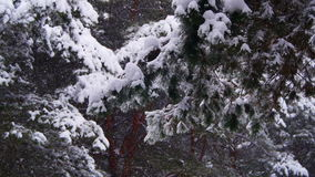 Snow falling in Winter Pine Forest with Snowy Christmas Trees. Winter forest with snowy tree. Snow falling and covered fir trees on a winter day. Winter stock video
