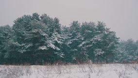 Snow falling in Winter Pine Forest with Snowy Christmas Trees stock video