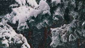 Snow Falling in Winter Pine Forest with Snowy Christmas Trees stock video footage