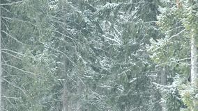 Snow falls on background of green fir trees filling the frame stock footage