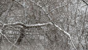 Snow falls on background of leafless tree branches stock footage